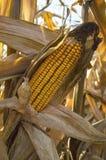 Żółty kukurydzany cob Fotografia Stock