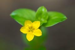 Żółty kurzyślep & x28; Lysimachia nemorum& x29; przerzedże kwiatu Obrazy Stock