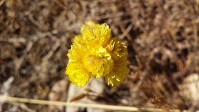 Żółty kwiat brać jako makro- obrazy royalty free