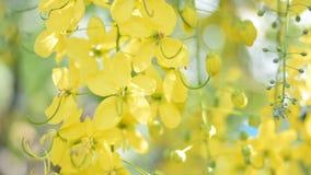 Żółty kwiat coon drzewo zbiory wideo