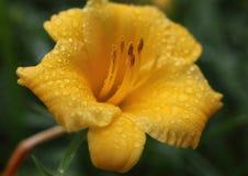 Żółty kwiat i deszcz Fotografia Royalty Free