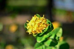 Żółty kwiat, Ixora kwiat z liścia tła kolca Żółtym kwiatem Królewiątko Ixora kwitnie Ixora chinensis Rubiaceae kwiat IX Zdjęcia Royalty Free