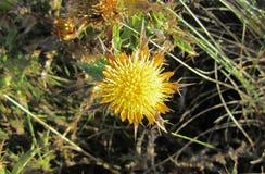 Żółty kwiat kserofilna roślina zdjęcie stock