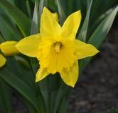 Żółty kwiat na kwiatu łóżku Obraz Royalty Free