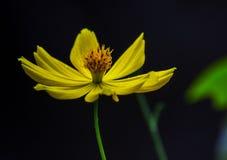 Żółty kwiat na ogródzie Fotografia Stock
