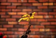 Żółty kwiat na tle ściana z cegieł Obrazy Stock
