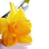 Żółty kwiat narcyz na białym tle. Obraz Royalty Free