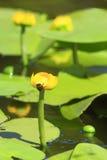 Żółty kwiat Nuphar lutea zdjęcia stock