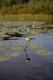 Żółty kwiat od wodnej lelui Obrazy Stock