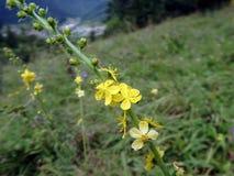 Żółty kwiat, Pospolity agrimony, Obraz Royalty Free