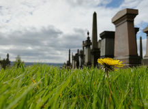 Żółty kwiat wśród zielonego gazonu w cmentarza ogródzie Zdjęcia Royalty Free