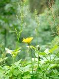 Żółty kwiat w alpin górze w Szwajcaria Fotografia Stock