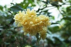 Żółty kwiat w krzaku Fotografia Royalty Free
