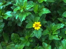 Żółty kwiat w minimalnym stylu Fotografia Stock