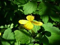 Żółty kwiat w słońce promieniu Obrazy Royalty Free