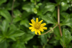 Żółty kwiat w zieleni Obraz Royalty Free