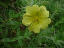 Żółty kwiat z podeszczowymi kroplami Obraz Royalty Free