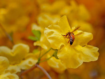Żółty kwiat z pszczołą obraz royalty free