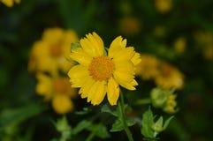 Żółty kwiat zamknięty Zdjęcie Stock