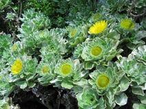 Żółty kwiatonośny krzak Zdjęcie Stock