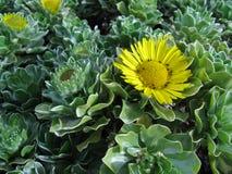 Żółty kwiatonośny wiecznozielony krzak Fotografia Royalty Free