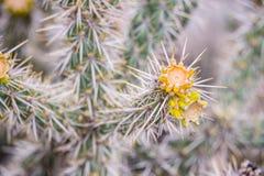 Żółty kwiatu kaktus zdjęcie royalty free