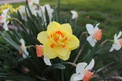 Żółty kwiatu narcyz w ogródzie Fotografia Royalty Free
