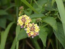 Żółty kwiatu ogród Fotografia Royalty Free