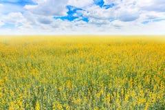 Żółty kwiatu pole i niebieskiego nieba tło Zdjęcia Stock