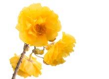 Żółty kwiatu wiyh odizolowywający na bielu Zdjęcie Royalty Free