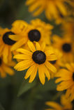 Żółty kwiatu wybuch obraz royalty free