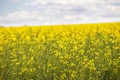 Żółty kwiecenia pole, piękna wieś, słoneczny dzień Obrazy Royalty Free