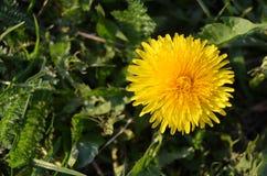 Żółty kwitnący dandelion Zdjęcia Royalty Free