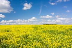 Żółty kwitnący kwiecenia pole, niebieskie niebo z białymi chmurami i Krajobraz z żółtymi kwiatami rapeseed Obraz Stock