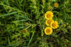 Żółty kwitnący pospolity fleabane widzieć od above Obraz Royalty Free