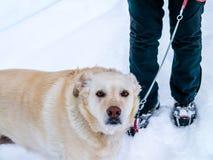 Żółty Lab Wycieczkuje na Śnieżnym dniu Obrazy Royalty Free