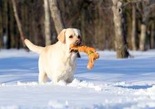 Żółty labrador w zimie w śniegu z zabawkarskim zakończeniem up Zdjęcia Royalty Free