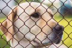 Żółty labradora aporter Zdjęcie Royalty Free