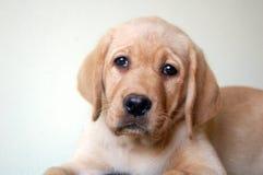 Żółty labradora szczeniaka Zdjęcie Stock