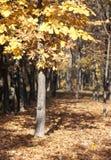 Żółty las Zdjęcia Royalty Free