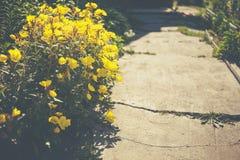 Żółty lato kwitnie makro- zakończenie Fotografia Royalty Free