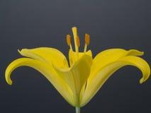 Żółty lelui zakończenie up Obrazy Royalty Free