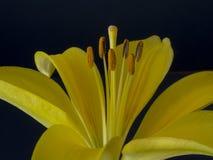 Żółty lelui zakończenie up Zdjęcia Royalty Free