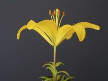 Żółty lelui zakończenie up, czarny tło Zdjęcia Stock