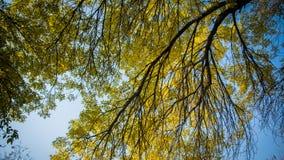 Żółty liść i drzewo Fotografia Royalty Free