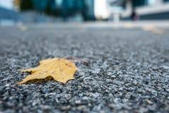 Żółty liść klonowy drzewo na blacktop obrazy royalty free