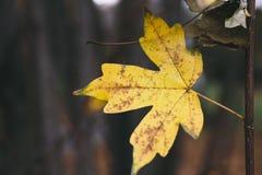 Żółty liść na drzewie Fotografia Stock