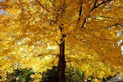 Żółty liść na drzewie Fotografia Royalty Free
