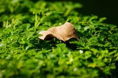 Żółty liść na młodych liściach Fotografia Royalty Free