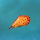 Żółty liść od mangowego drzewa na błękitne wody, spławowy liść, pomarańczowy liść jesień Obrazy Royalty Free